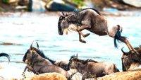 Wildebeest: The Great African Migration